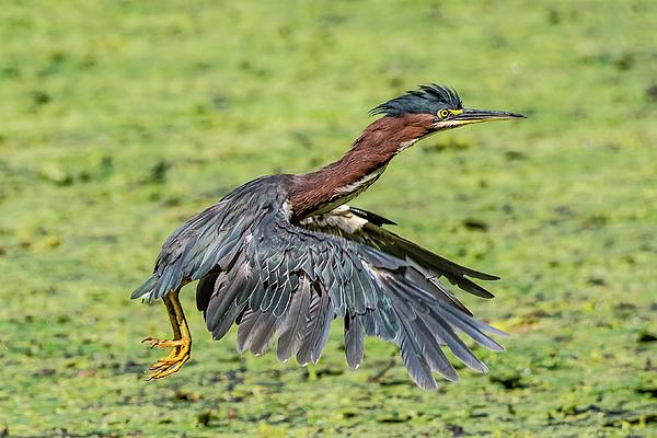 Morris Finkelstein - Green Heron Flight