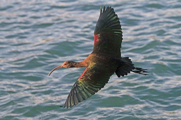 Shoal Hollingsworth - Green Ibis 6