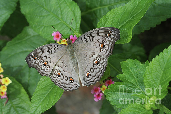 Judy Whitton - Grey Pansy Butterfly #2