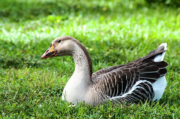 Norman Johnson - Greylags Goose