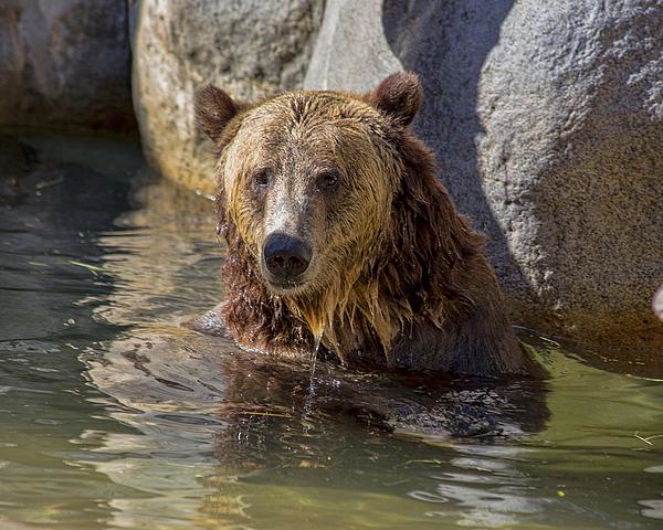 TN Fairey - Grizzly Bear - San Diego Zoo