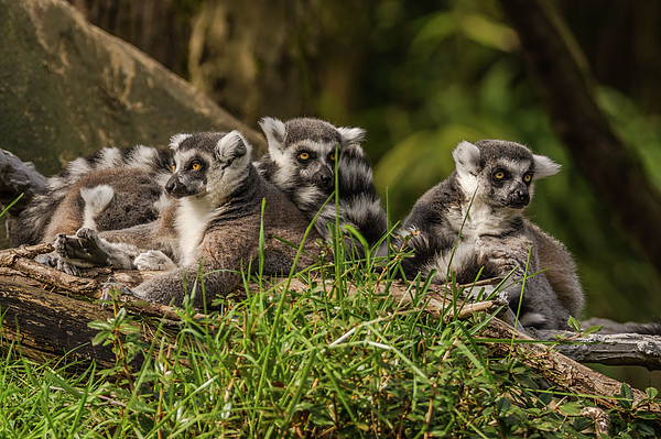 Marv Vandehey - Group Portrait of Lemurs