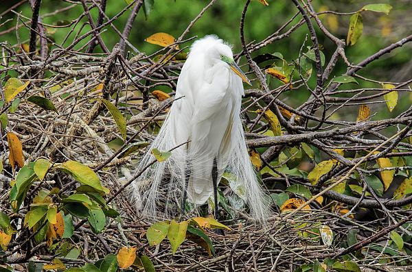 Lonnie Wooten - Grumpy Great Egret