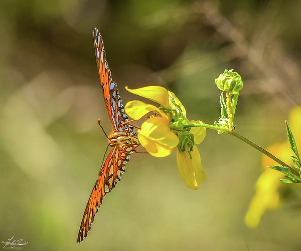 Phil and Karen Rispin - Gulf Fritillary Butterfly