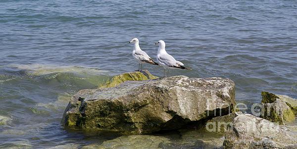Ann Horn - Gulls on Rocks