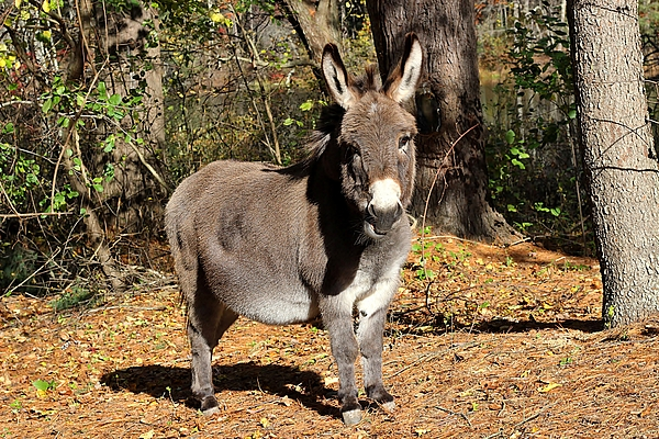 Linda Crockett - Handsome little donkey