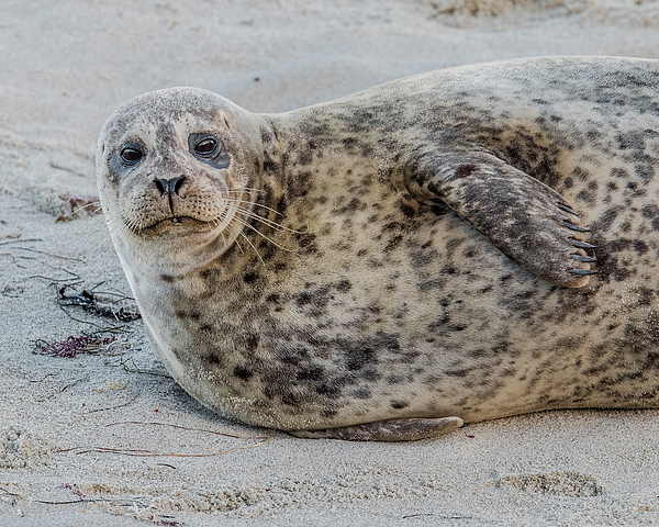 Morris Finkelstein - Harbor Seal Portrait