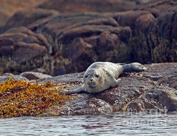 Steve Gass - Harbor Seal