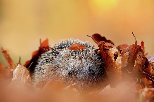 Roeselien Raimond - Hedgehog Hiding