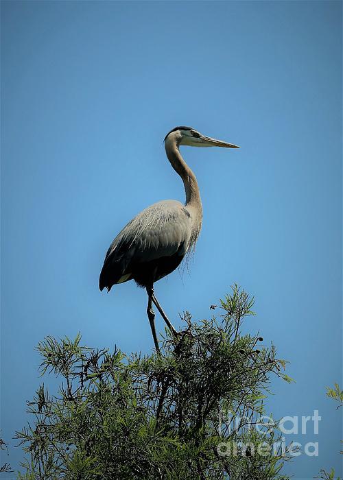 Diann Fisher - Heron Watch