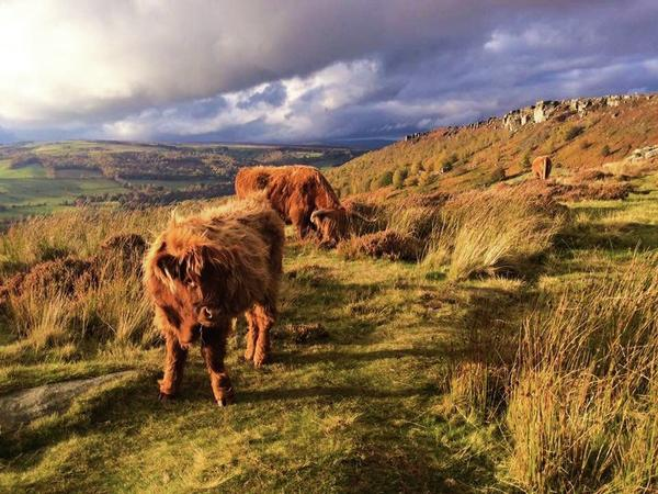 Andy J Gill - Highland Cattle