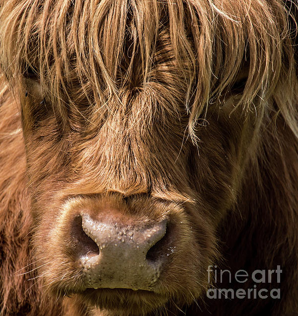 Julie Chambers - Highland Cow Portrait