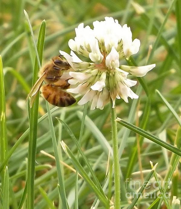 Rory Cubel - Honeybee On Clover Bloom            June              Indiana