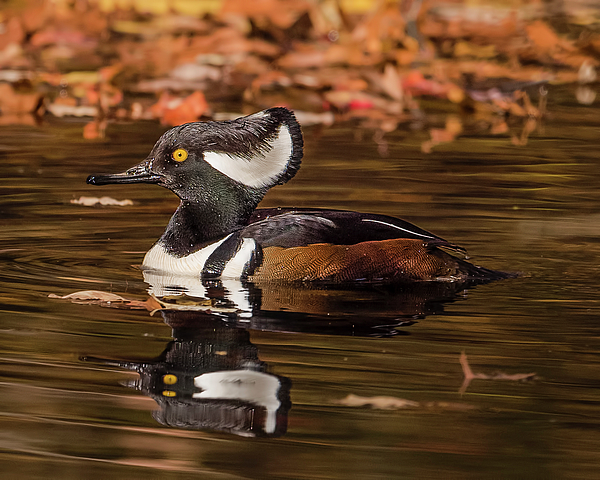Morris Finkelstein - Hooded Merganser and Reflections
