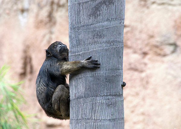 Sheila Fitzgerald - Howler Monkey Hanging On
