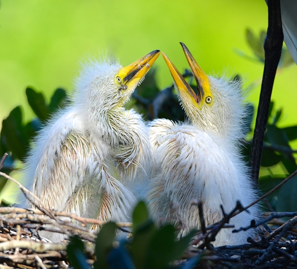 Richard Bryce and Family - Hungry Egret Chicks