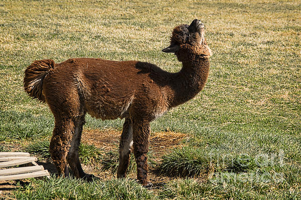 hunter the alpaca herd sire throw pillow for sale by priscilla burgers. Black Bedroom Furniture Sets. Home Design Ideas
