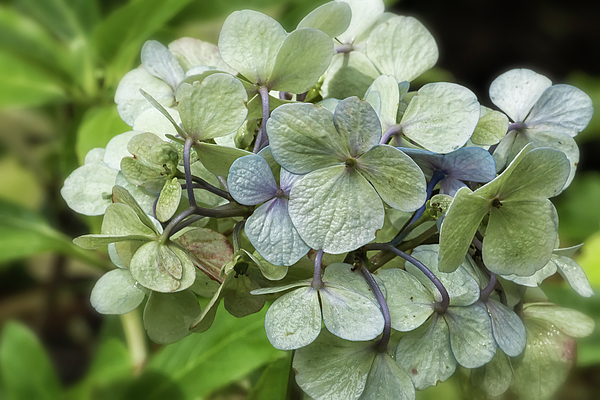 Belinda Greb - Hydrangea  in Purple and Pale Yellow