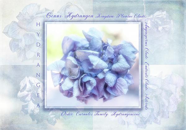 Terry Davis - Hydrangea