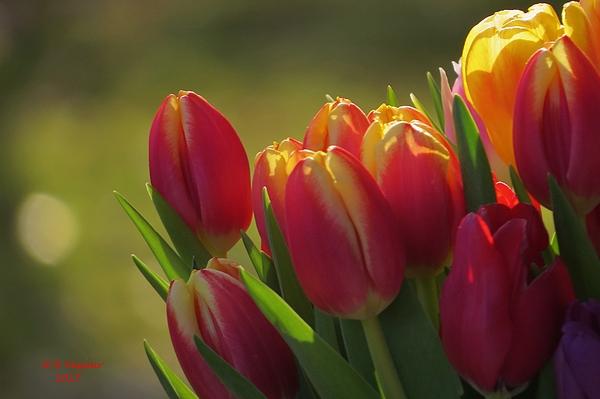 B Vesseur - I Love Tulips