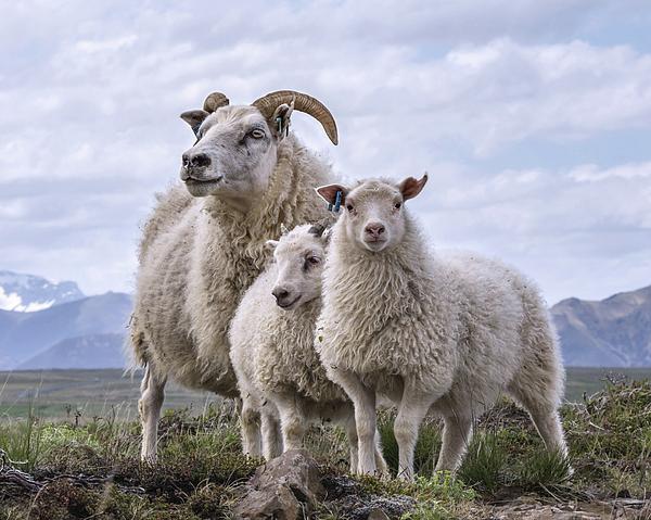 Frogoutofwater Photos - Icelandic Sheep