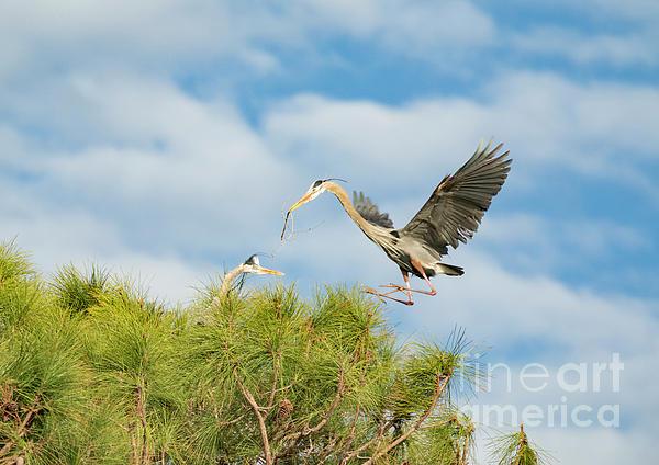 Edie Ann Mendenhall - Incoming Great Blue Heron