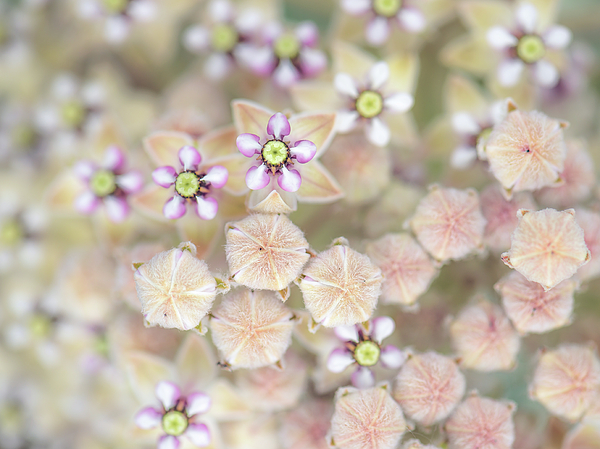 Alexander Kunz - Indian Milkweed Flowers and Buds