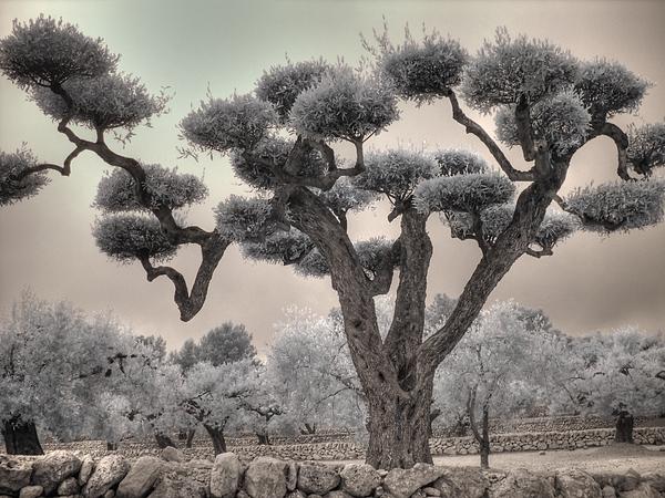 Jane Linders - Infrared Spanish Olive tree Bonsai
