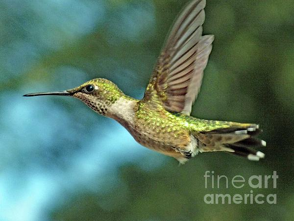 Cindy Treger - Iridescent Flying Jewel - Ruby throated Hummingbird