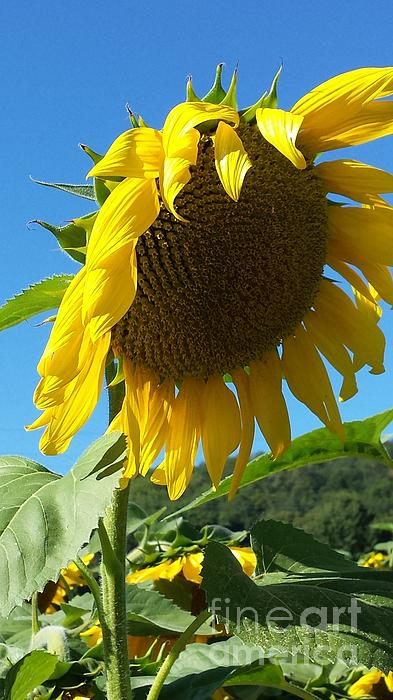 GJ Glorijean - Sunflower Daze