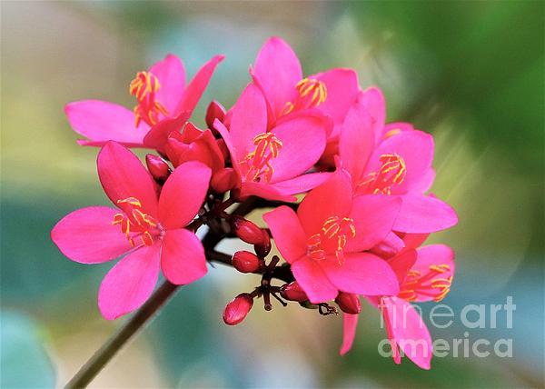 Diann Fisher - Jatropha Flower