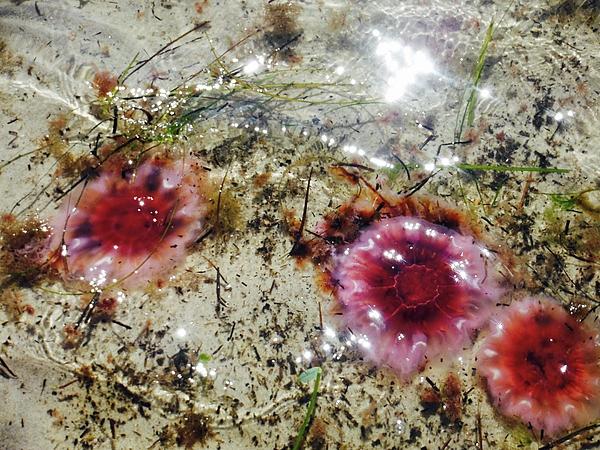 Deborah Napelitano - Jelly Fish Coming to Shore