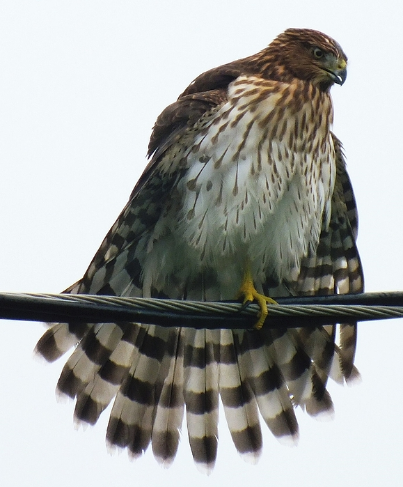 Cindy Treger - Juvenile Sharp-shinned Hawk A