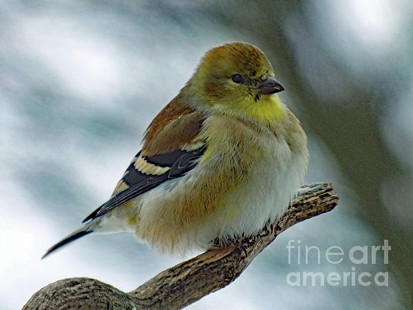 Cindy Treger - Keeping Warm - American Goldfinch
