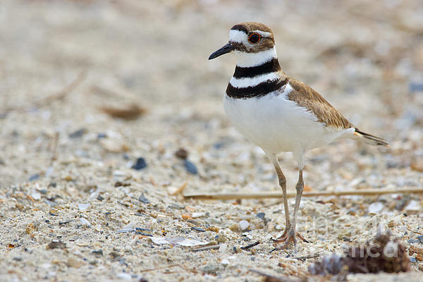 Rachel Morrison - Killdeer at Yorktown