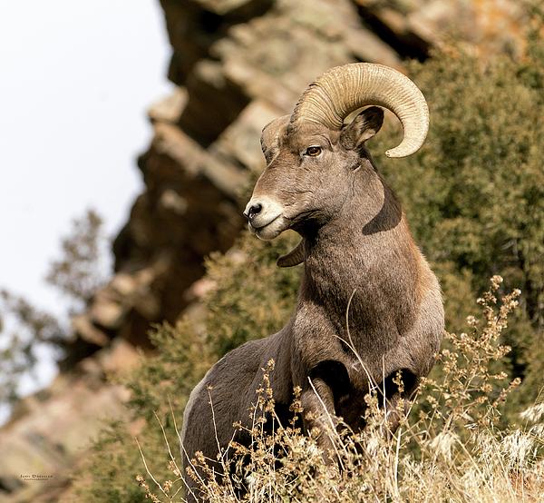 Judi Dressler - King of his domain - the Bighorn Ram