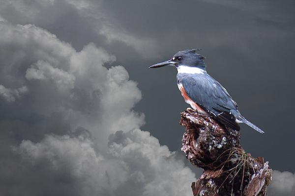 Rosalie Scanlon - Kingfisher Stormy Background