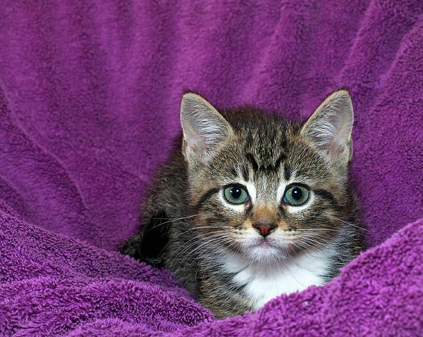 Sheila Fitzgerald - Kitten, Purr-fect in Purple