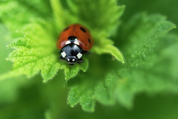 Irina Safonova - Ladybird is a symbol of well-being, goodness and peace
