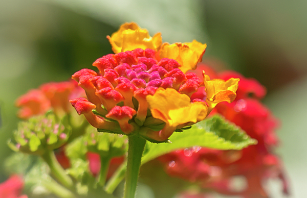 Barbara Molocznik - Lantana flower for Hummingbirds and Butterflies