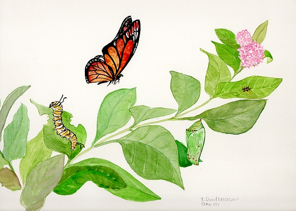 R David Erickson - Life Cycle Monarch Butterfly