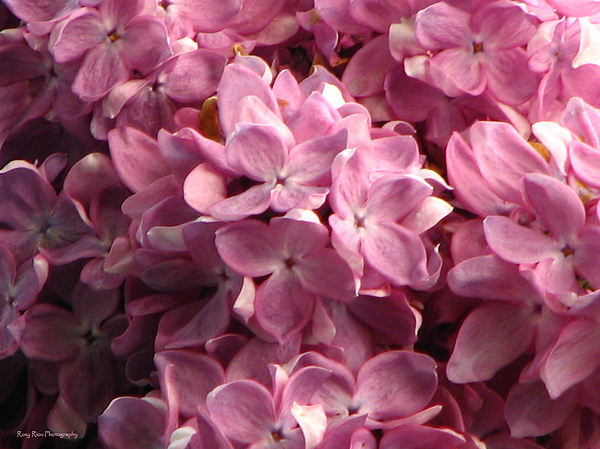 Roxy Riou - Lilac Beauty