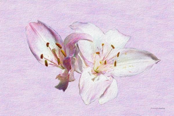 Diane Lindon Coy - Lily Blushing Pink