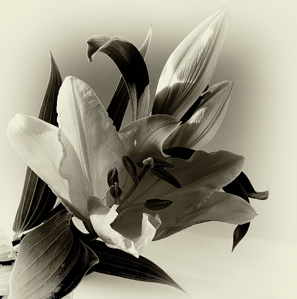 Jeff Townsend - Lily in Sepia
