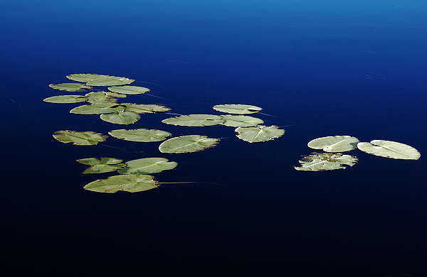 Debbie Oppermann - Lily Pads Floating On River
