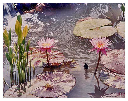 Fred Jinkins - Lily Pond