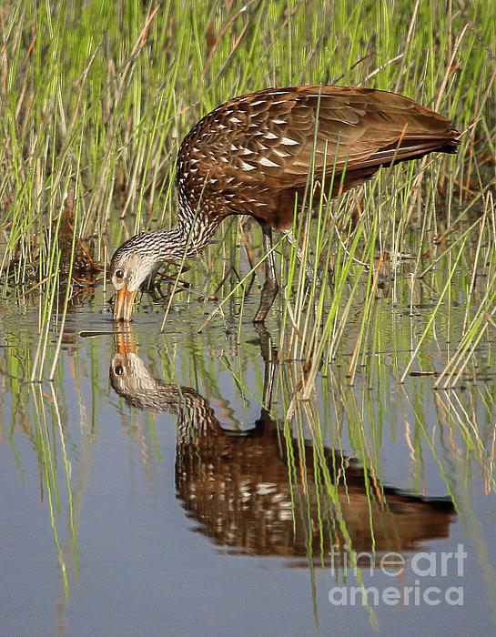 Tom Claud - Limpkin Search for Snails