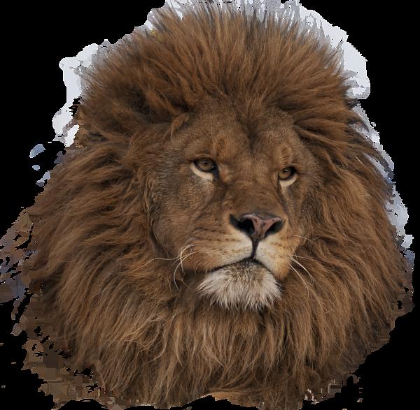 Lion Shower Curtain For Sale By Wildlife Fine Art