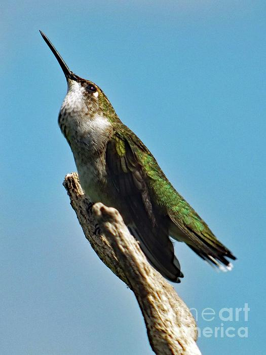 Cindy Treger - Listening Ruby-throated Hummingbird