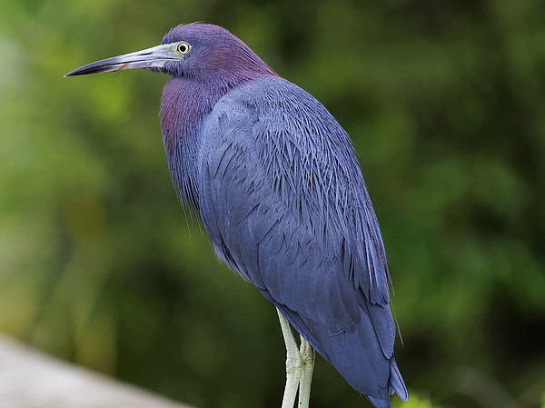 Jill Nightingale - Little Blue Heron Portrait